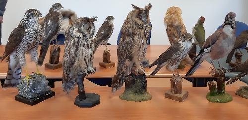 Alcuni esemplari di fauna selvatica sequestrati dal Noava nell'operazione Valli in gabbia - Udine, 5 dicembre 2019.